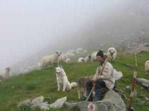 Un cioban a fost legat de un copac de cei care i-au furat opt miei de la stână
