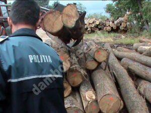 Ilegalități în domeniul prelucrării, transportului si comercializării materialului lemnos, constatate de polițiști