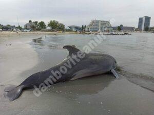 Un delfin a fost găsit eșuat pe plaja din Mamaia