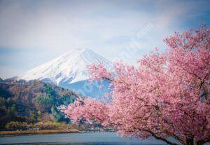 Cireşii japonezi au înflorit mai devreme decât în ultimii 1200 de ani