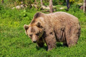 Ministrul Mediului schimbă regulile privind intervenția pentru recoltarea urșilor ce pun în pericol siguranța sau bunurile cetățenilor