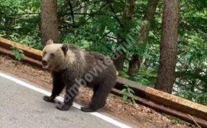 Este risc mediu, la Pucheni, privind apariția ursului brun