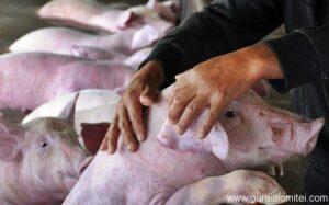 Read more about the article ANSVSA anunţă că în țară sunt active 130 de focare de pestă porcină africană