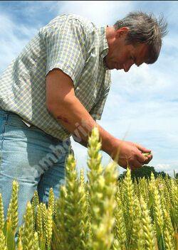 Read more about the article Recolta de grâu din acest an, puternic afectată de ploi