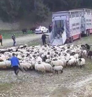 Read more about the article Transportul de animale vii, suspendat în perioada caniculei